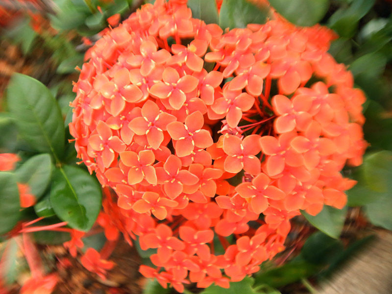 Mini ixora vermelha mudas plantas ornamentais odair for Plantas para pleno sol